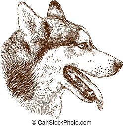 Vector antique engraving drawing illustration of husky dog head isolated on white background