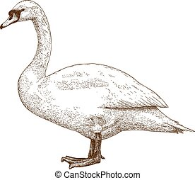 etching swan - Vector antique engraving illustration of swan...