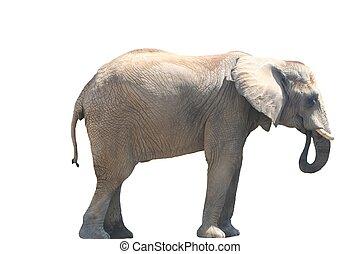 eten, elefant