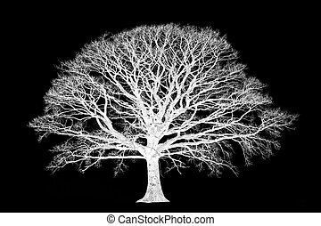 Ethereal abstract in monochrome of an oak tree in winter devoid of leaves, set against a black background.
