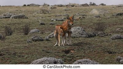 Rare and endemic ethiopian female and male wolf, Canis simensis, hunts in nature habitat. Sanetti Plateau in Bale mountains, Africa Ethiopian wildlife. Only about 440 wolfs survived in Ethiopia