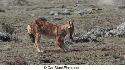 Rare and endemic ethiopian wolf, Canis simensis, hunts in nature habitat. Sanetti Plateau in Bale mountains, Africa Ethiopian wildlife. Only about 440 wolfs survived in Ethiopia