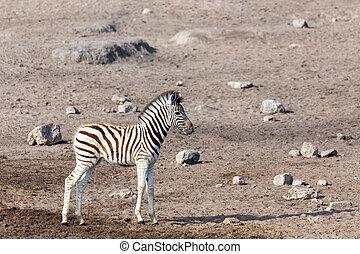 etosha, africa, zebra, namibia, puledro