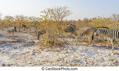 etosha, namibia., zèbres, parc national