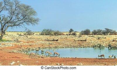 Etosha Okaukuejo waterhole - Wide angle panorama wild...