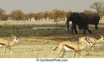 Etosha springbok elephants - wild springbok and elephants at...