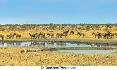 Etosha waterhole animals - Wide angle panorama of wild...