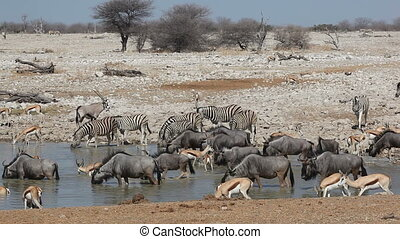 Etosha waterhole - Zebra, wildebeest, springbok and gemsbok...