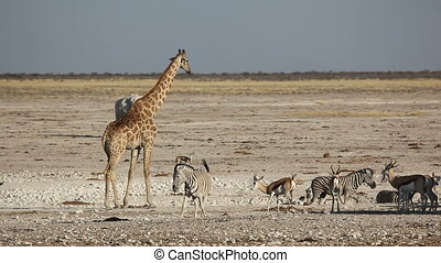 Etosha waterhole - A giraffe, elephant, zebra and springbok...