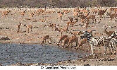 Etosha waterhole - Plains zebras and impala antelopes...