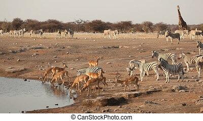 Etosha waterhole - Impala antelopes, zebra and a giraffe...