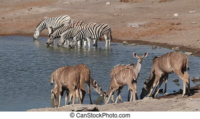 Kudu antelopes and plains zebras drinking at a waterhole, Etosha National Park, Namibia