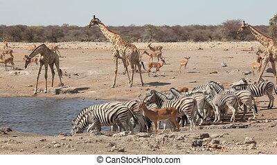 Etosha waterhole - Plains zebras, impala antelopes and...
