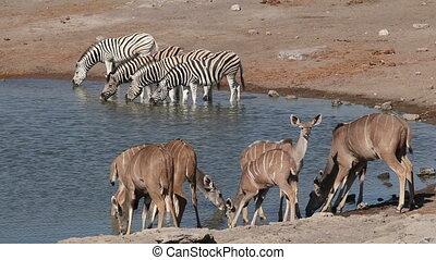 Etosha waterhole - Kudu antelopes and plains zebras drinking...