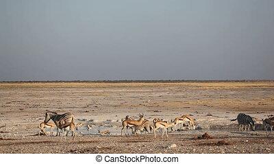 Etosha waterhole - Zebras and springbok antelopes gathering...