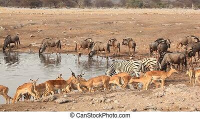 Etosha waterhole - Implala antelopes, blue wildebeest and...