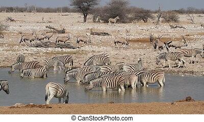 Etosha waterhole - Zebras and gemsbok antelopes gathering at...
