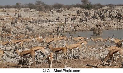 Zebra, springbok and gemsbok antelopes gathering at a waterhole, Etosha National Park, Namibia
