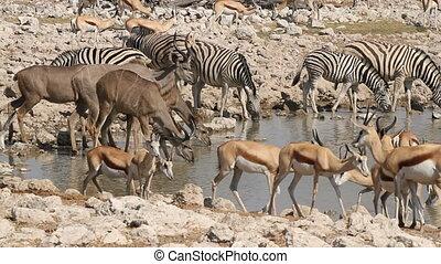 Etosha waterhole - Zebra, springbok and kudu antelopes...