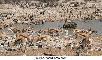 Zebra, springbok, kudu, gemsbok and wildebeest gathering at a waterhole, Etosha National Park, Namibia