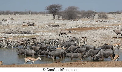 Zebra, wildebeest, springbok and gemsbok antelopes gathering at a waterhole, Etosha National Park, Namibia