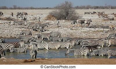 Zebra, wildebeest, springbok and kudu antelopes gathering at a waterhole, Etosha National Park, Namibia