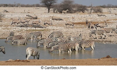 Zebras and gemsbok antelopes gathering at a waterhole, Etosha National Park, Namibia