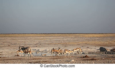 Zebras and springbok antelopes gathering on an open plain at a waterhole, Etosha National Park, Namibia
