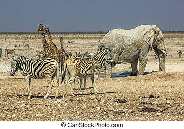 etosha, zebraer, giraffer