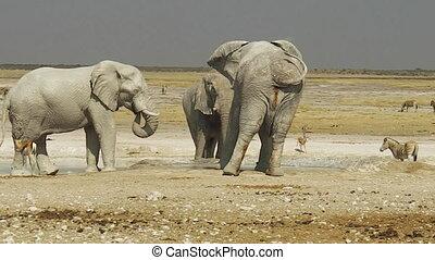 Etosha zebras and elephants - wildlife elephants and zebras...