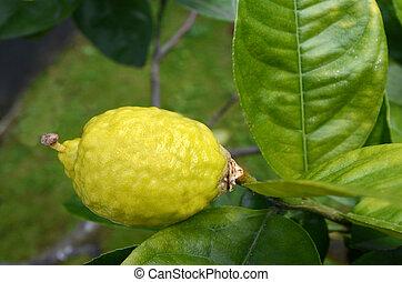 Etrog grow on a tree - Fresh Citron, Etrog grow on a tree