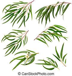 eucalipto, branca, isolado, cobrança, globulus