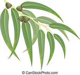 eucalipto, branch., vector, illustration.