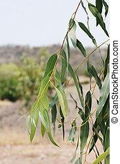 eucalipto, folhas, em, fazenda