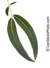 eucalipto, folhas, isolado, branco
