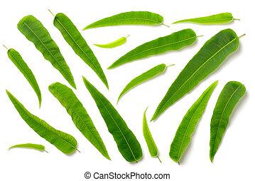 eucalipto, folhas, isolado, cobrança, branca, fresco, vista superior