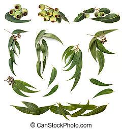 eucalipto, hojas, colección