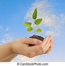 eucalipto, manos