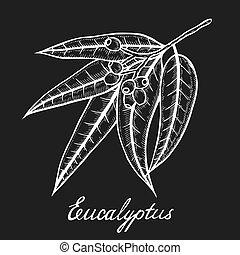 eucalipto, planta, rama