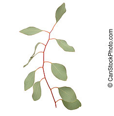 eucalipto, twig.