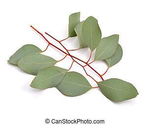 eucalipto, twigs.