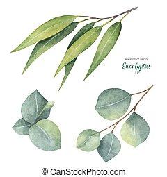 eucalipto, vector, acuarela, hojas, pintado, conjunto de ...