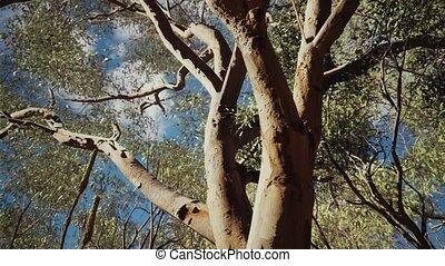 eucaliptus in Australia red Center