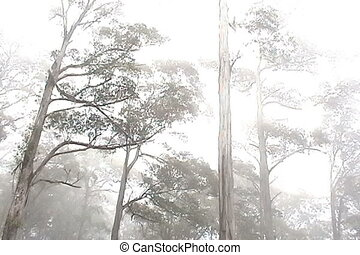 Eucalypt Forest in mist