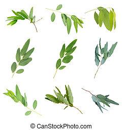 eucalyptus, af)knippen, grijs, vrijstaand, achtergrond, path.