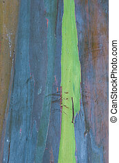 Eucalyptus Bark 2 - Photo of Eucalyptus bark t the Waimea ...