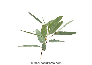 eucalyptus, coupure, gris, isolé, fond, path.