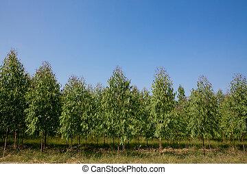 eucalyptus fa, mező