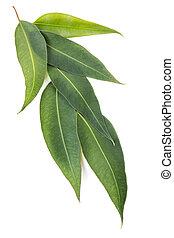 eucalyptus, feuilles, blanc, isolé