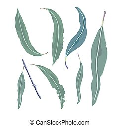 eucalyptus, feuilles, collection